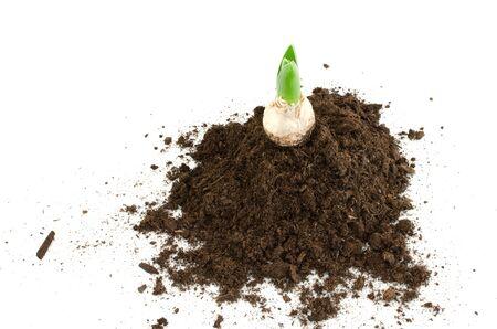 hyacinthus: Brotes hyacinthus en el mont�n de tierra.