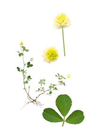 trifolium: Hop Trefoil isolated on white background with details of leaf and bloom beside.