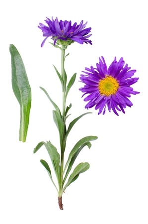 Isolated purple blooming flower with detail of bloom and leaf beside. Stock Photo