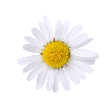 oxeye: Oxeye daisy bloom isolated on white background.