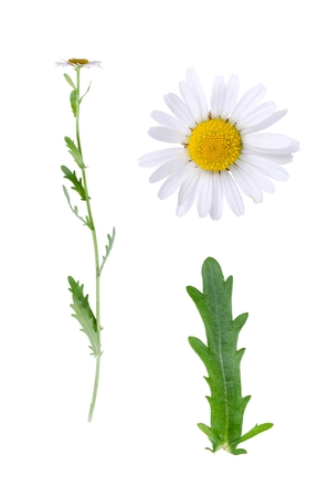 ox eye: Leucanthemum vulgare and details of bloom and leaf isolated on white background.