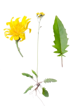 hawkweed: Crepis paludosa with details of leaf and bloom beside isolated on white background.