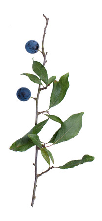 astringent: Prunus spinosa twig with berries isolated on white background.