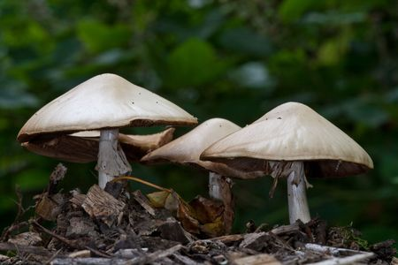 Wood Mushroom, edible, free wild food. Stock Photo - 5368139