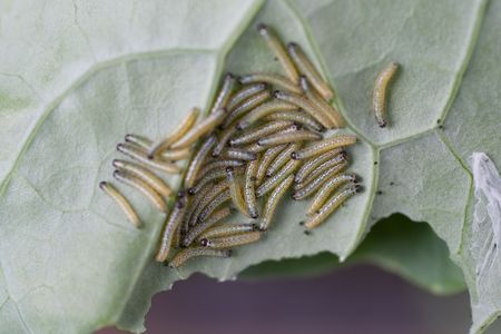 Larvae of the Cabbage White Butterfly on Brassica. Stock Photo - 5387753