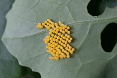 Eggs of the Cabbage White butterfly on Brassica. photo