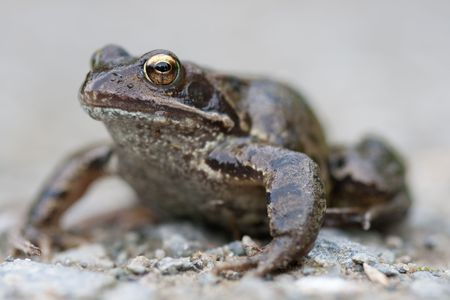 Common Frog, Rana temporaria. Stock Photo