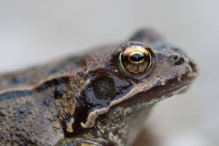 Frog profile showing nostril, golden eye and eardrum. Stock Photo