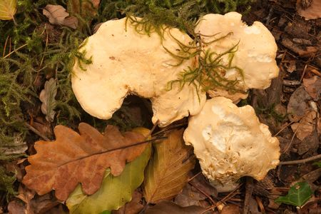 Hedgehog fungus, pied de mouton, Hydnum repandum.  Gourmet food, favoured by foragers. Stock Photo - 5548287