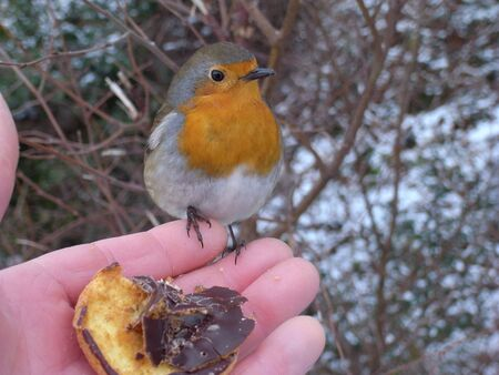 Robin sat on fingers of a hand with chocolate biscuit.