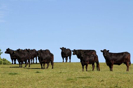 Welsh black cattle in a green field with blue sky.