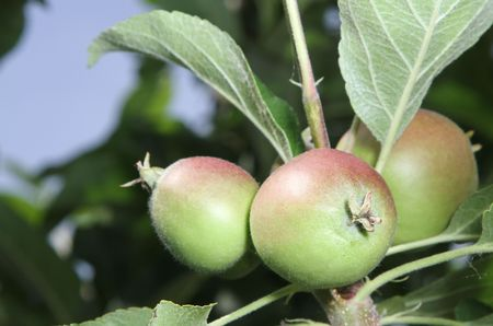 Three young immature apples growing on a branch. Stock Photo - 7272027