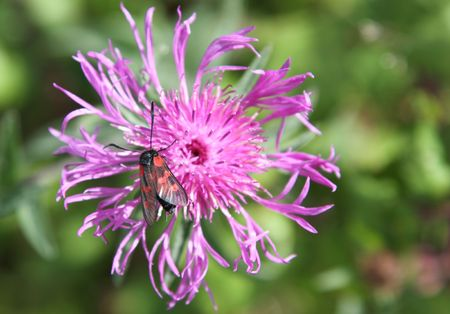 zygaena: Six-spot burnet, Zygaena filipendulae, on knapweed flower, Centaurea.