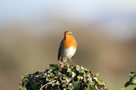 rubecula: Robin, redbreast, Erithacus rubecula, sat on post covered in ivy, Hedera Helix.