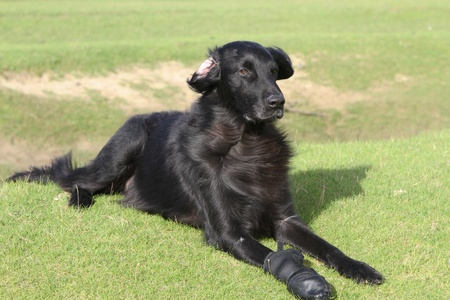 Flatcoat retriever dog  with a protective boot laying in the wind on green grass.