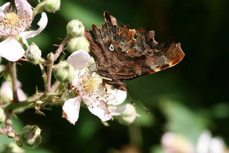 flauna: Under-wing pattern of the coma butterfly, Nymphalis c-album, and the distinctive jagged edge.