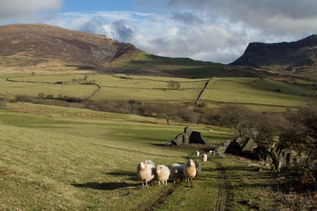 ewes: A flock of sheep walk up a track in a green field with a derelict building, hills and crags with a cloudy sky in the background. Stock Photo