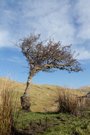crata�gus: Un viento en forma de �rbol de espino raqu�tico, Crataegus monogyna, creciendo sobre hierba con una colina en la distancia y el azul cielo con nubes.