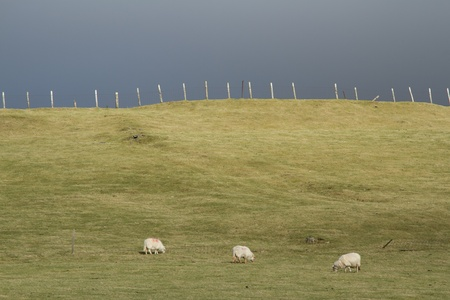 Three ewes grazing on grass in a field with a fence and posts on a hill with a dark cloudy sky in the background.