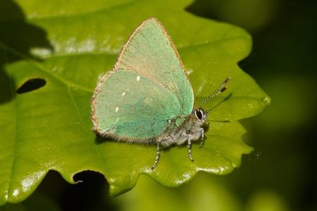 Green hairstreak butterfly, Callophrys rubi, resting on an oak leaf, showing the green underwing.