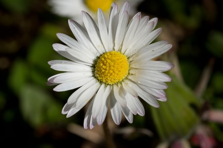 floret: Daisy, Bellis perennis, showing the yellow disc floret and the petal ray floret. Stock Photo