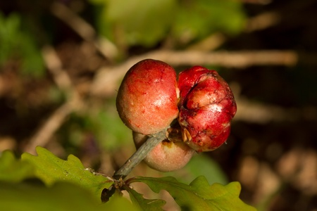 Oak apple galls, produced by the gall wasp, Biorhiza pallida, on a shoot with green leaves. Stock Photo - 9490488