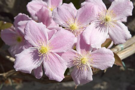 A closeup of pink clematis flowers showing petals and reproductive parts. photo