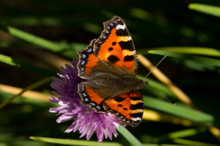 nymphalis: Small tortoiseshell butterfly, Nymphalis urticae with open wings on the flower of a chive plant. Stock Photo