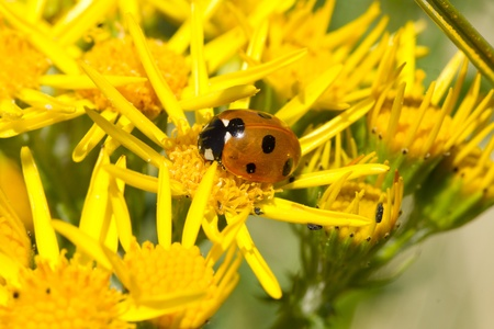 septempunctata: A ladybird, Coccinella septempunctata, on the yellow flower of the ragwort, Senecio jacobaea.