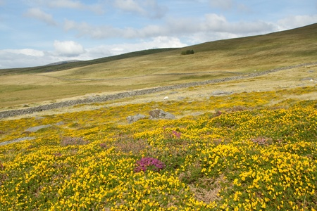 Hillside moorland with yellow gorse and purple heather flowers leading to a stone wall and grass fields, a blue cloudy sky in the distance.