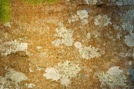 excelsior: The bark of an ash tree, Fraxinus excelsior, with green moss and patches of white lichen. Stock Photo