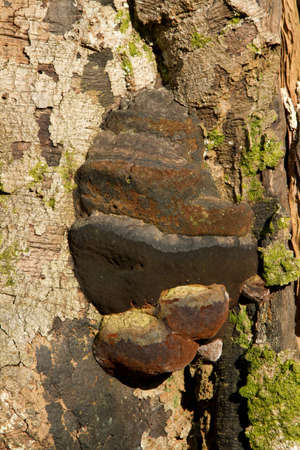 Artists bracket fungus, ganoderma applanatum, growing on a tree trunk with flaking bark and green moss  Stock Photo - 12745890
