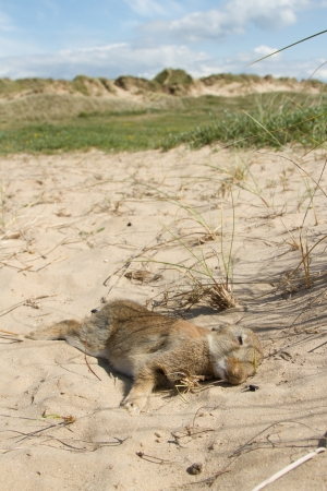 A young dead rabbit lays on the sand at a dune warren complex. Stock Photo