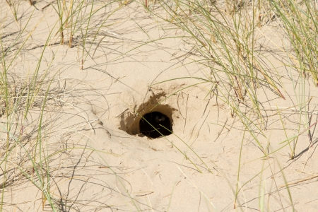 burrow: A rabbit burrow, hole, dug in the sand with grass surrounding. Stock Photo