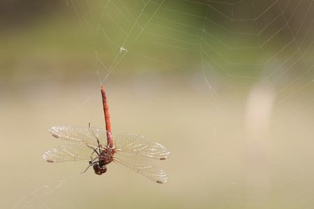 The large red damselfly, Pyrrhosoma nymphula, caught in a spider web hanging upside down.