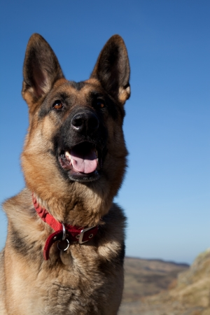 A portrait of a German shepard, Alsation, dog, looking alert against a bright blue sky. Stock Photo