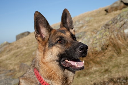 A portrait of a German shepard, Alsation, dog, looking alert against a hillside and  a bright blue sky.