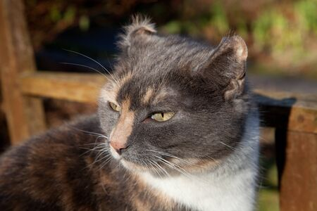 vetinary: A cat with the disfigured ear condition, Aural haematoma, cauliflower ear. Stock Photo