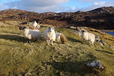Scottish black face ewes and lambs on green grass among moorland with a blue sky and cloud in the distance.