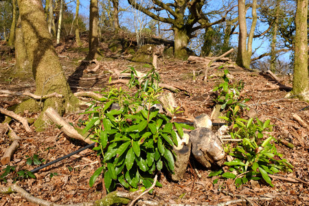 land management: Land management scheme, an area of rhododendron clearance in oak woodland where the rhododendron plant is reemerging with shoots and green leaves  Stock Photo