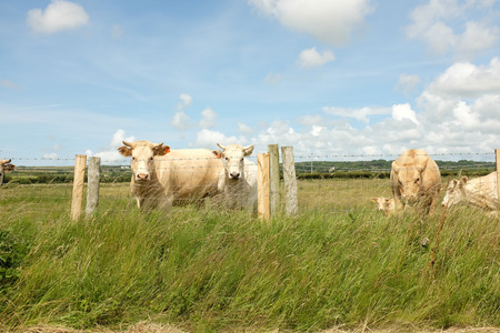 cattle wire wire: Cattle look ahead from behind a wire fence with wooden posts and lush green grass. Stock Photo