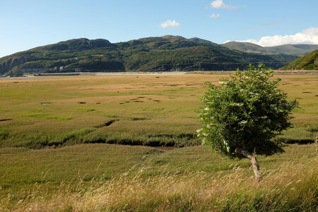 elder tree: An elder flower tree on a grass bank overlooks a saltmarsh with wooded mountains in the distance.