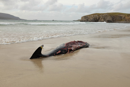 tagged: The carcass of a beaked whale, Ziphiidae, tagged and disemboweled on a beach.