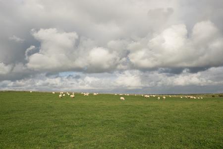 A lush green grass field with a flock of sheep grazing under a cloudy sky.
