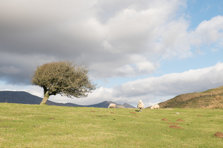 A hawthorn tree stands in a field of green grass with molehills and sheep mountain peaks stand in the distance. Stock Photo