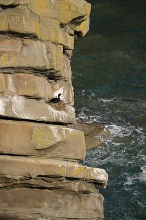 A shag nesting on a sea cliff ledge. Stock Photo