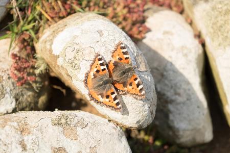 A pair of small tortoiseshell butterflies mating on a rock.