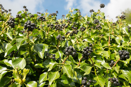A glut of ivy berries on a bush with green leaves against a blue sky. Stock Photo