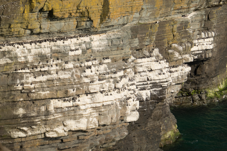 a gullemot nesting colony on multi-story ledges on a cliff overlooking the sea.