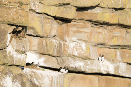 Sea cliff ledges with nesting shags, razorbills and guillemots.
